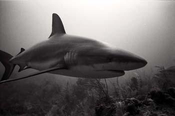 <img:http://www.fish-tail.com/images/BWshark4.jpg>