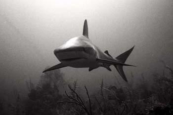<img:http://www.fish-tail.com/images/BWshark5.jpg>