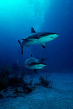 <img:http://www.fish-tail.com/images/sharks.jpg>
